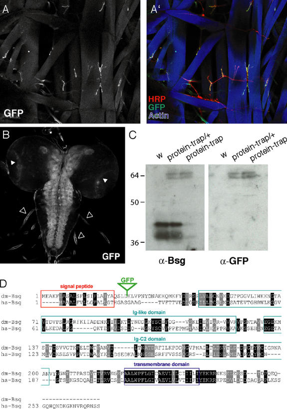 GFP expression pattern in bsg protein-trap lines. (A and A′) Third instar larva heterozygous for the protein-trap insertion, stained with anti-GFP antibodies (A and A′, green), anti-HRP antibodies (A′, red), and phalloidin (A′, blue). (B) GFP-Bsg accumulation in heterozygous larval brain. (C) Western blot of total extracts from w larvae (left) or larvae heterozygous (protein-trap/+; middle) or homozygous (protein-trap; right) for a protein-trap insertion, probed with anti-Bsg and anti-GFP antibodies. (D) Alignment of D. melanogaster and human Bsg proteins. The green triangle indicates the location of GFP insertion.
