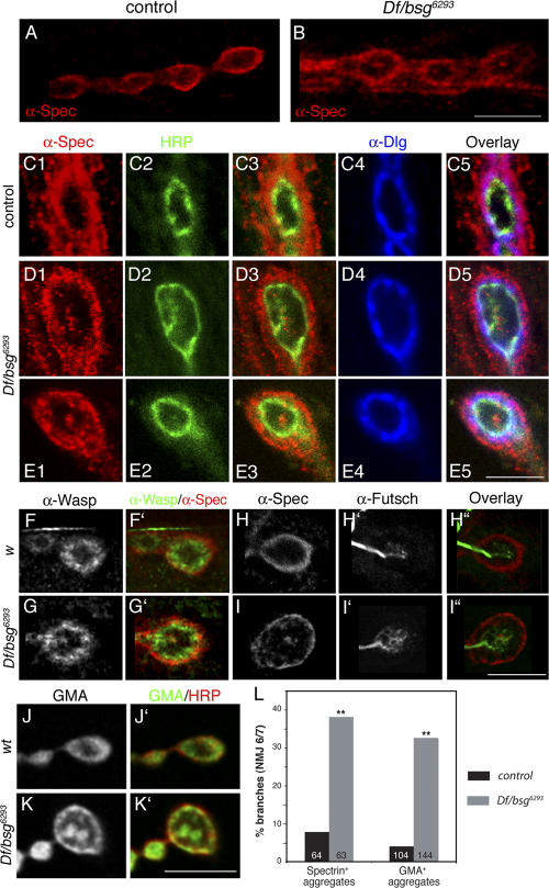 Distribution of actin cytoskeleton markers is altered in bsg larvae. (A and B) Wild-type (A) and Df/bsg 6293 (B) muscle 4 NMJs stained with anti–α-Spec antibodies. Bar, 10 μm. (C–E) Heterozygous control (C) and Df/bsg 6293 (D and E) boutons stained with anti–α-Spec (C1, D1, and E1), anti-HRP (C2, D2, and E2), and anti-Dlg (C4, D4, and E4) antibodies. Bar, 5 μm. (F and G) w (F) and Df/bsg 1217 (G) bouton stained with anti-Wasp (F and G) and anti–α-Spec (F′ and G′, red) antibodies. (H and I) w (H) and Df /bsg 6293 (I) boutons stained with anti–α-Spec (H and I) and anti-Fusch (H′ and I′) antibodies. Bar, 5 μm. (J and K) Synaptic boutons of wild-type (J) and Df/bsg 6293 (K) larvae expressing a fusion of GFP with the F-actin binding domain of Moesin (GMA), under the control of elav -Gal4. GFP-GMA expression is shown in J and K, and is in green in J′ and K′. HRP staining is shown in red in J′ and K′. Bar, 5 μm. Images A and B correspond to z projections of serial confocal sections throughout entire boutons (step size: 0.3 μm), and images C–K correspond to single optical slices taken through bouton centers. (L) Graph showing the percentage of NMJ 6/7 branches containing presynaptic Spec + or GMA + aggregates. **, P