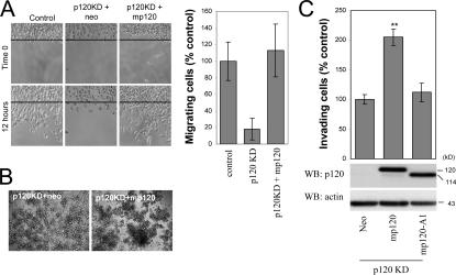 A cadherin-uncoupled p120 mutant does not promote motility and invasiveness. (A) Ectopic expression of murine p120 rescues the migration of p120-depleted cells. p120-depleted MDA-231 cells (clone 3; Fig. 1 B ) were infected with control neo retrovirus or retrovirus expressing murine p120. After G418 selection, stable polyclonal cell lines were used in a scratch-wound assay to test their migration in response to HGF. Images shown are 0 and 12 h after HGF addition. The line denotes the cell front at time 0. The number of individual cells that crossed the line after 12 h was counted, and results were expressed as a percentage of migrating cells compared with control (MDA-231-pRS). n = 9. (B) The increased migration of p120-expressing cells is not due to reduced cell–cell adhesion. Cells were suspended as hanging drops and allowed to aggregate overnight. The strength of cell adhesion was assessed after passing the cell aggregates 10 times through a standard 200-μl pipette tip. Note that p120-expressing cells are more resistant to dissaggregation than cells depleted of endogenous p120. (C) MDA-231 cells with knocked down expression of endogenous p120 (clone 3) were infected with retroviruses expressing neo resistance alone or together with full-length murine p120 or a murine p120 mutant (mp120-A1), which is unable to bind E-cadherin. The invasiveness of p120-reexpressing cells was tested in vitro toward HGF ( n = 6). (bottom) Lysates from all cell lines were subjected to SDS-PAGE and Western blotted for expression of p120 (using mAb pp120) and actin. Error bars indicate SEM. **, P