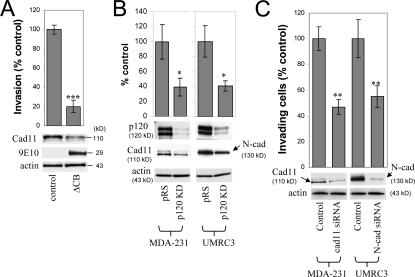 Endogenous mesenchymal cadherins promote cell invasiveness. (A) Expression of the E-cadherin juxtamembrane domain inhibits cadherin 11 levels and blocks invasiveness. MDA-231 cells were infected with control retrovirus (zeo) or retrovirus expressing a small, p120-binding, myc-tagged fragment of the E-cadherin cytoplasmic tail (ΔCB) that cannot associate with β-catenin. Polyclonal stable cell lines were subjected to invasion assays, toward a gradient of HGF ( n = 6). (bottom) Lysates from both cell lines were subjected to SDS-PAGE and Western blotted for expression of cadherin 11, ΔCB (using the myc tag–specific mAb 9E10), and actin. (B) p120 regulates the levels of endogenous mesenchymal cadherins. Polyclonal populations of p120-depleted MDA-231 or UMRC3 cells were examined for their expression of cadherin 11 or N-cadherin, respectively. Note that upon p120 depletion (top), levels of endogenous mesenchymal cadherins (middle and graphs) are reduced ( n = 3). (C) Endogenous mesenchymal cadherins promote cell invasiveness. MDA-231 and UMRC3 cells were transiently transfected by electroporation with either control siRNA or siRNA specific for human cadherin 11 or N-cadherin, respectively. Control experiments verified maximal knock down of cadherin expression 3 d after transfection. 2 d after transfection, cells were serum starved overnight and plated in Matrigel-coated transwells. Invasiveness was determined 24 h later in response to a gradient of HGF (MDA-231) or serum (UMRC3). n = 6. Error bars indicate SEM. *, P