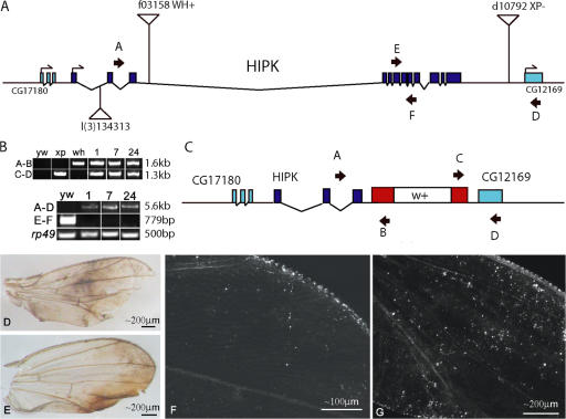 HIPK is essential for normal PCD in the wing epithelium. The HIPK locus is depicted (A) with the original insertion, l(3)S134313. Other transposons, f03158 and d10792 , were used to generate a deletion HIPK D1 (C), which removes 92% of the HIPK coding region by replacing residues 1–1243 of the HIPK coding sequences with white+ marker gene. Primer sets A-B and C-D (C) were used to identify recombination events by genomic PCR. Deletions were verified in panel B using two additional primer sets, which resulted in a novel PCR product (primers A–D) and a negative PCR result (primers E-F) in homozygous mutant DNA. rp49 represents a positive control. Wings mosaic for both HIPK l(3)S134313 (D and F) and HIPK D1 (E and G) were normal at eclosion, but upon aging showed severe blemishing and persisting cell phenotypes (D–G), with HIPK D1 wings exhibiting additional persisting DsRed cells (G). Note that the progressive blemishing phenotypes were not seen in parental strains, including those used to produce FRT recombinants.