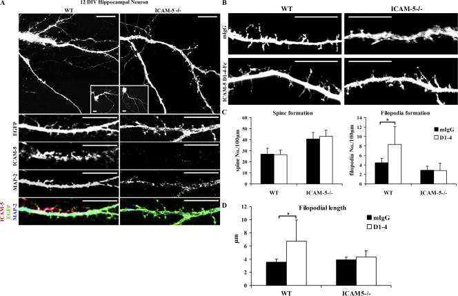 sICAM-5 promotes dendritic filopodia elongation. 9-DIV EGFP-transfected WT and <t>ICAM-5</t> −/− hippocampal neurons were incubated with 10 μg/ml soluble recombinant ICAM-5 <t>D1-4-Fc</t> protein or control mIgG for 72 h. The neurons were then double stained for ICAM-5 (A, red) and MAP-2 (A, blue). Compared with mIgG control protein, sICAM-5 D1-4-Fc protein induced significantly more filopodia from WT neurons, but not from ICAM-5 −/− neurons (B and C). The filopodial length of WT neurons, but not ICAM-5 −/− neurons, also significantly increased in the presence of sICAM-5 D1-4-Fc protein (D). The experiment was repeated three times with similar results. Error bars indicate mean ± SD. *, P