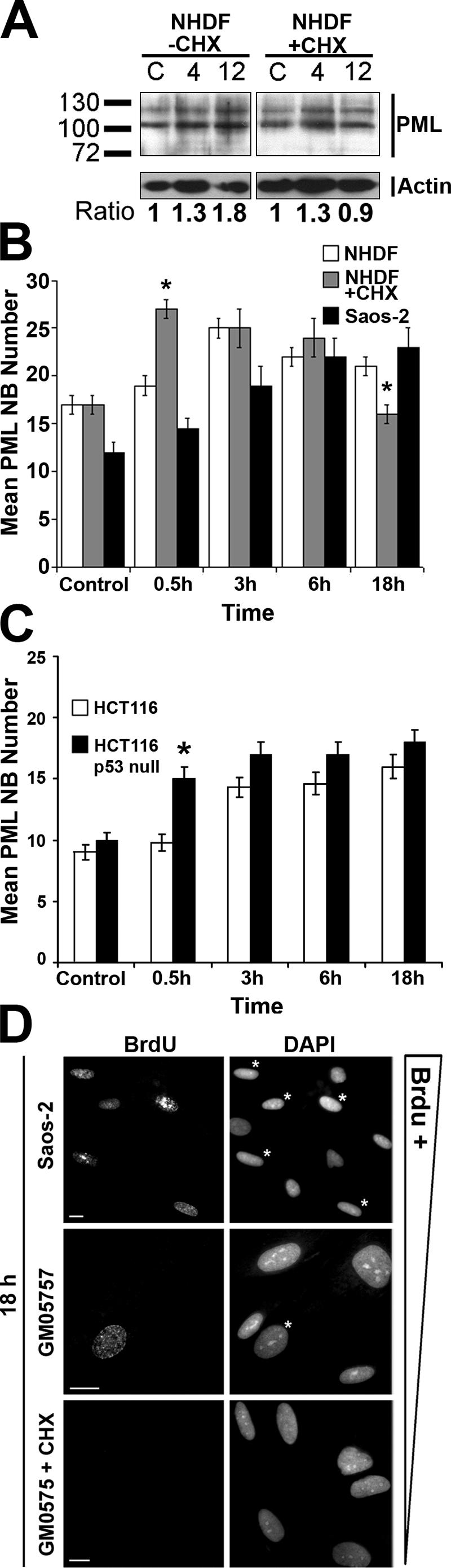 The increase in PML NB number in response to DSBs is independent of new protein translation and p53 . NHDF cells (GM05757) in the presence or absence of 150 μM cycloheximide (CHX), Saos-2 human osteosarcoma cells, and isogenic HCT116 human colon carcinoma cells (+ or − p53) were treated with etoposide (20 μM VP16) for 30 min (*, P