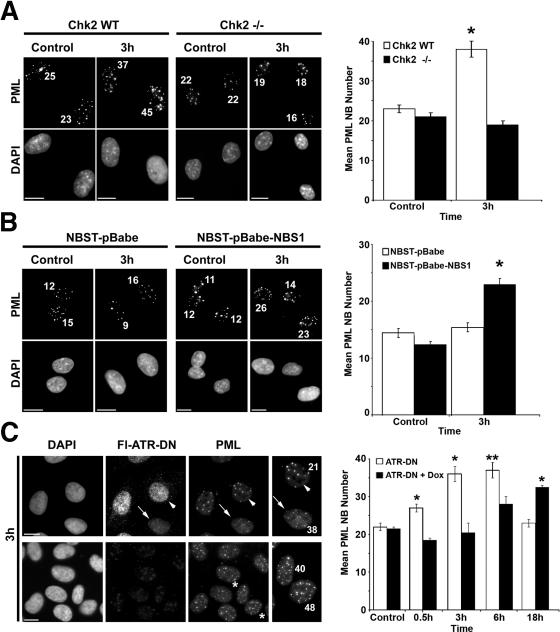 PML NB induction in response to DSBs requires NBS1, Chk2, and ATR-function . Cells were treated with etoposide (20 μM VP16 for 30 min), left to recover for 3 h, and processed for IF detection of PML. DNA was counterstained with DAPI. PML NB number is indicated in maximum-intensity Z projections of IF images of control and etoposide-treated cells (left) and a comparison of mean PML NB number (right) is shown. Error bars represent the SEM. Bars, 5 μm. (A) Comparison of the PML NB number between etoposide-treated Chk2-null (Chk2 −/−) and wild-type Chk2 (Chk2 WT) MEFs (*, P