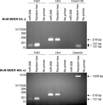 Fstl1 and Utrn mRNA contain miR-206 target sites. RT-PCR analysis of Fstl1 and Utrn using a miR-206 oligo to prime first-strand synthesis. After collection of RNA from M+M MDER cells either maintained in growth medium (0 h −β) or cultured in DM with β-estradiol (48 h +β), reverse transcription was performed in which either a DNA oligo corresponding to miR-206, a random hexamer oligo mixture (positive control), or no primer (negative control) was used. PCR was subsequently performed with primers specific for Fstl1, Utrn, Timm17b, and desmin, as indicated. Timm17b and Desmin are not predicted targets of miR-206 and are used to demonstrate the specificity of miR-206 oligo priming.