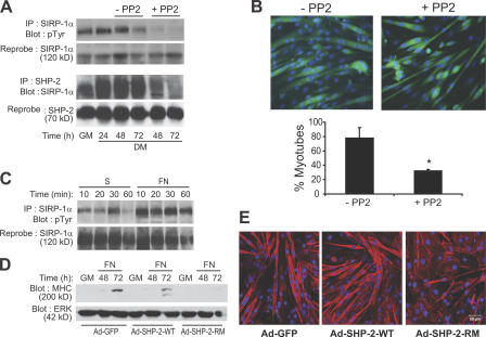 SHP-2 mediates myotube multinucleation in an SFK- and integrin-dependent manner. (A) After 24 h in differentiation medium (DM), cells were treated for 24 and 48 h either with 2 μM PP2 (+PP2) or without PP2 (−PP2). Lysates were subjected to immunoprecipitation with anti–SIRP-1α or anti–SHP-2 antibodies. Immune complexes were immunoblotted with antiphosphotyrosine, anti–SIRP-1α, and anti–SHP-2 antibodies. (B) Representative photomicrographs of PP2-treated C2C12 myoblasts as described in A. The number of myotubes containing more than two nuclei was calculated, and the results represent the mean percentages ± SEM (error bars) of three independent experiments (*, P
