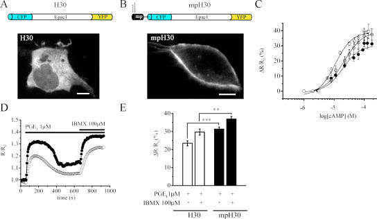 A unimolecular Epac-based sensor detects different [cAMP] at the plasma membrane and in the bulk cytosol. (A) Schematic representation of the fusion protein constituting the Epac-based cAMP sensors H30 and confocal micrographs showing its distribution in HEK293 cells. (B) Structure and localization of the membrane-targeted version of mp H30. Bars, 10 μm. (C) cAMP dose-response curves measured as the percent FRET changes of H30 (white circles), mp H30 (black circles), and nls H30 (gray circles). EC 50 are 12.5, 20, and 17.5 μM, respectively. (D) Representative kinetics of cAMP changes generated in the cytosol (white circles) and at the plasma membrane (black circles) upon stimulation with 1 μM PGE 1 followed by 100 μM IBMX. (E) Summary of the experiments performed as in D. Error bars represent SEM. **, P = 0.002; ***, P = 10 −4 .