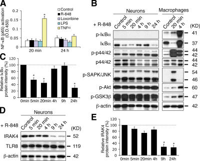 TLR8 stimulation in neurons does not activate the canonical TLR–NF-κB signaling pathway, but rather down-regulates IκBα and IRAK4. (A) ELISA assay for NF-κB (p65) transactivation using nuclear extracts from cortical neurons stimulated with 100 μM R-848, 500 μM loxoribine, 5 μg/ml LPS, or 10 ng/ml TNFα for the indicated times. LPS and TNFα serve as negative and positive controls, respectively. (B) Western blotting of the hallmarks of the conventional TLR-signaling pathway with lysates from neurons and Raw264.7 macrophages treated with 100 μM R-848 for the indicated times. (C) Quantification of changes in IκBα levels in R-848–stimulated neurons by band densitometry. A representative blot is shown in B. (D) Western blotting of IRAK4 in neurons stimulated with 100 μM R-848 for the indicated times. Note that TLR8 levels remain unchanged. (E) Quantification of changes in IRAK4 levels by band densitometry. A representative blot is shown in D. Data in C and E, expressed as percentage normalized to controls (100%), are the mean ± the SEM for pooled Western-blots from three independent cultures. Statistical analysis was done by t test. *, P