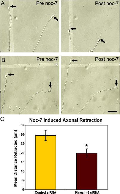 Depletion of kinesin-5 reduces the distance of axonal retraction. (A and B) DIC images of control axons (A) and kinesin-5–depleted axons (B) before and 30 min after treatment with 0.3 mM <t>noc-7.</t> (B) Kinesin-5–depleted axons continue to elongate even in the presence of noc-7. Arrows demarcate the distal tips of growth cones before and after noc-7 treatment. (C) Quantitative analysis of noc-7–induced axonal retraction revealed a statistically significant reduction in mean distance retracted in neurons depleted of kinesin-5 (mean ± SEM; control, n = 54; kinesin-5 siRNA, n = 55; *, P = 0.011). Bar, 20 μm.