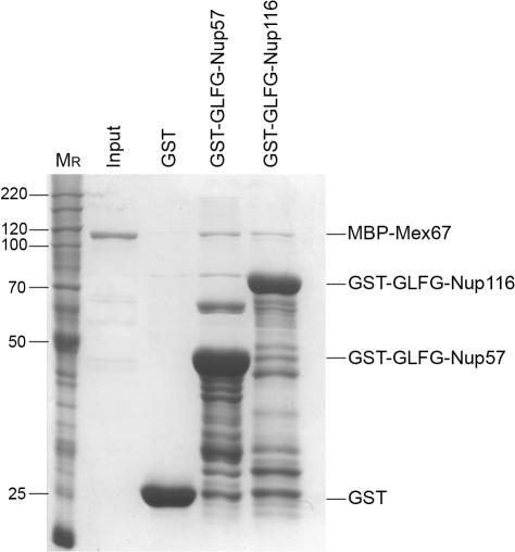 Mex67 binds the GLFG domain of Nup57. Bacterially expressed GST, GST-GLFG-NUP57, and GST-GLFG-NUP116 were each immobilized on glutathione agarose beads. Recombinant purified MBP-Mex67 was added, and the bound fraction was eluted. 10% of the input (MBP-Mex67) and the eluted fractions was resolved by SDS-PAGE and stained with Coomassie blue. Molecular mass (kilodaltons) markers are shown at the left ( M r ).