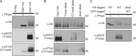 T-loop modification occurs through intramolecular autophosphorylation.  (A) Proteins were immunoprecipitated with anti-HA from wild-type (ELY126) and Cbk1-HA (ELY140) strains. Half of the immunoprecipitated proteins was removed and treated with λ phosphatase. The proteins were then blotted with the indicated antibodies. Anti-pS570 was used to detect T-loop site phosphorylation, and anti-pT743 was used to detect CT-motif site phosphorylation (Cbk1-HA; 90 kD). (B) Proteins were immunoprecipitated with anti-HA from strains expressing Cbk1-HA (ELY140), the T-loop allele (ELY390), the CT-motif allele (ELY437), and kinase-dead Cbk1 (ELY426). Proteins were resolved by SDS-PAGE and blotted with the indicated antibodies. (C) Proteins were immunoprecipitated from a haploid strain expressing Cbk1-HA (ELY140) and a diploid strain expressing Cbk1-GFP and kinase-dead Cbk1-HA (ELY537). Immunoprecipitation was done with anti-HA so that only kinase-dead Cbk1 would precipitate from the diploid strain (in addition, GFP-tagged Cbk1 runs at a higher molecular weight than HA-tagged Cbk1). Half the immunoprecipitates from Cbk1-HA were treated with λ phosphatase. The proteins were resolved by SDS-PAGE and probed with the indicated antibodies.