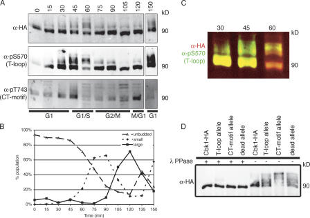 Cbk1 modification is dynamic over the cell cycle.  (A) Cells carrying Cbk1-HA (ELY140) were arrested with α factor for 2 h, until  > 80% of cells had formed mating projections. They were then washed extensively and released into fresh YPD. Cells were harvested every 15 min, and lysates from each time point were subjected to immunoprecipitation with anti-HA. The resulting proteins were resolved by SDS-PAGE, blotted with the indicated antibodies, and imaged using fluorescently labeled secondary antibodies. Slower migrating forms of Cbk1-HA appear, particularly at the 45-, 60-, and 150-min time points; these are detected by anti-HA and both phosphospecific antibodies. CT-motif phosphorylation peaks at 45 and 120 min. (B) At each time point, cells were fixed in formaldehyde to assess the budding index. Fixed cells were sonicated with a probe to break apart any clumps of cells, and budding morphology was scored ( n >  200). (C) Merge of anti-HA and anti-pS570 images in A. Fluorescent detection allows overlay of two color images: red represents anti-HA and green represents anti-pS570. Note bias of T-loop phosphorylation to slower migrating forms of Cbk1-HA in both the 45- and 60-min time points. (D) Proteins were immunoprecipitated with anti-HA from strains expressing Cbk1-HA (ELY140), the  cbk1  T-loop allele (ELY390), the  cbk1  CT-motif allele (ELY437), and  cbk1  kinase-dead allele (ELY426). Half of each immunoprecipitation was treated with λ phosphatase. Proteins were resolved by SDS-PAGE, run longer to enhance separation, and blotted with anti-HA. The resulting bands were imaged using fluorescently conjugated secondary antibodies and subsequently quantified; all proteins are expressed at similar levels, and a pronounced shift is evident under these conditions for the CT-motif allele (Cbk1-HA, 90 kD).