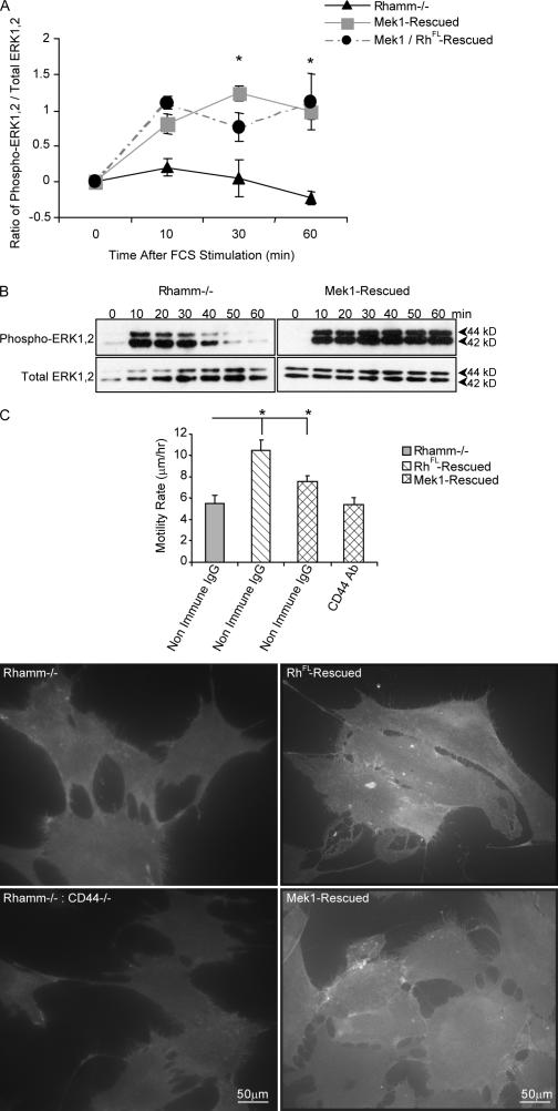 Mutant active Mek1 rescues ERK1,2 activity, motility, and CD44 surface display in Rh −/− fibroblasts. (A) ELISA of active ERK1,2. Expression of Mek1 in Rh −/− fibroblasts restores serum-induced ERK1,2 activity. Values at 0 min were subtracted from values at 30 and 60 min. Mean and SEM; n = 3 replicates from one of three experiments. (B) Western blot of active ERK1,2. Western blots confirm rescue of ERK1,2 activity by Mek1 in Rh −/− fibroblasts. One of five experiments is shown. (C) Motility and cell surface CD44 display. Expression of Mek1 in Rh −/− fibroblasts significantly increases motility, which is blocked by anti-CD44 antibody. Mean and SEM; n = 30 cells from one of three experiments. Live-cell immunofluorescence shows that Mek1 expression restores surface CD44 display in Rh −/− fibroblasts. The specificity of the anti-CD44 antibody is demonstrated by a lack of fluorescence in murine CD44 −/− :Rh −/− fibroblasts. One of three experiments is shown. *, P