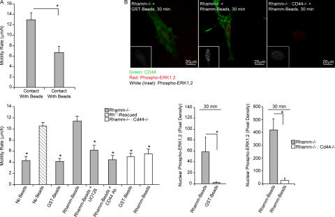 Cell surface Rhamm rescues motility of Rhamm −/− fibroblasts. (A) Motility in response to Rhamm beads. Rh −/− fibroblast motility is significantly increased when cells contact recombinant Rhamm beads, compared with control GST beads. Rhamm bead–stimulated motility is similar to Rh FL -rescued fibroblast motility and is blocked by a Mek1 inhibitor and CD44 antibody. Mean and SEM; n = 30 cells. One of eight experiments is shown. (B) ERK1,2 activation in response to Rhamm beads. Serum-induced ERK1,2 activity (red; white in insets) in Rh −/− fibroblasts is significantly stimulated by Rhamm beads but not control GST beads. ERK1,2 activity is not increased in Rh −/− fibroblasts when CD44 (green) is not expressed (Rh −/− :CD44 −/− ). Rhamm beads do not increase nuclear phospho-ERK1,2 in Rh −/− :CD44 −/− fibroblasts. Mean and SEM; n = 25 cells. One of three experiments is shown. *, P