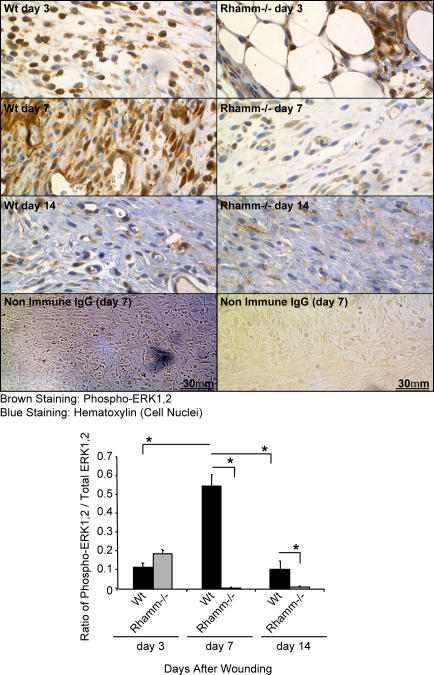 ERK1,2 activation is aberrant in Rhamm −/− wound granulation tissue. Both Wt and Rh −/− granulation tissue fibroblasts are positive for phospho-ERK1,2 on day 3 after wounding (brown). ERK1,2 activity significantly increases in Wt wound granulation tissue by day 7 and drops to background by day 14. ERK1,2 activity prematurely drops in Rh −/− wound granulation tissue to background at day 7 and remains low at day 14. Mean and SEM; n = 15 images of three serial sections of wounds from five Wt and Rh −/− mice. *, P