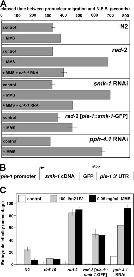 rad-2 corresponds to mutations in the smk-1 gene. (A) The first embryonic cell cycle was timed in the indicated strains as described previously ( Holway et al., 2006 ). NEB, nuclear envelop breakdown; control, regular media; +MMS, media containing 0.05 mg/ml MMS. (B) Cartoon depicting the construct used to generate the rad-2 ( pie-1–smk-1– GFP) strain. The arrow and stop indicate the locations of the start and termination of translation, respectively. (C) Embryonic sensitivity to the indicated DNA-damaging agents was determined as described previously ( Holway et al., 2006 ). Error bars represent SD.