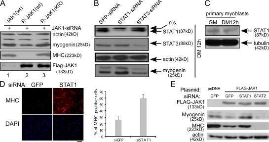 STAT1 mediates the antidifferentiation effect of JAK1. (A) C2C12 cells were transfected with JAK1-siRNA together with various forms of JAK1 cDNA. After 24 h in DM, cells were harvested, and WCEs were subjected to immunoblotting. R, siRNA resistant; KR, kinase-dead mutant of JAK1 with Lys896 replaced by Arg. (B) C2C12 cells were transfected with various siRNAs as indicated. WCEs were prepared from cells grown in DM for 12 h and subjected to immunoblotting. ns, nonspecific band. (C) 100 μg WCE prepared from primary myoblasts harvested at different times was subjected to immunoblotting. (D) Freshly isolated primary myoblasts were transfected with either GFP-siRNA or STAT1-siRNA. 24 h after transfection, cells were fixed and subjected to immunostaining for MHC (top). The nuclei of the cells were counterstained with DAPI (bottom). The percentage of MHC-positive cells was calculated based on cells from five randomly chosen fields. Error bars represent SD. (E) C2C12 cells were cotransfected with various siRNAs and cDNA expression vectors as indicated. After 36 h in DM, cells were harvested, and WCEs were subjected to immunoblotting. Bar, 100 μm.