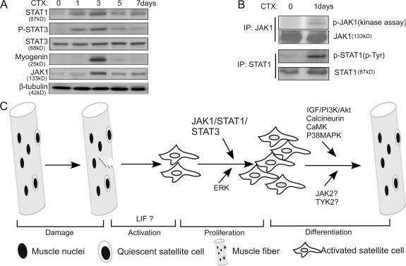 JAK1/STAT1/STAT3 were activated during cardiotoxin-induced muscle regeneration. (A) After the injection of cardiotoxin (CTX), TA muscles were isolated at different time points as indicated. WCEs from TA muscles were prepared, and 200 μg WCE was subjected to immunoblotting. (B) WCEs from control and regenerating TA muscles were separately subjected to immunoprecipitation (IP) with either the anti-JAK1 antibody (top two panels) or the anti-STAT1 antibody (bottom two panels). The immunoprecipitated JAK1 was subjected to both protein kinase assays (top) and immunoblotting (second panel), whereas the immunoprecipitated STAT1 was only subjected to immunoblotting (third and fourth panels). (C) A schematic on injury-induced muscle regeneration. Key molecules/pathways acting at different stages of regeneration are indicated.