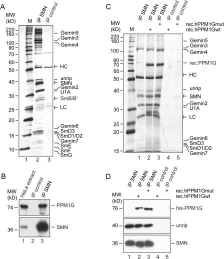Interaction of PPM1G and the SMN complex. (A) SMN complex was precipitated from HeLa cell extract with a monoclonal anti-SMN antibody (7B10), covalently linked to protein G–Sepharose (IP-SMN). An unrelated mouse serum, covalently linked to protein G–Sepharose, was used as control (IP control). Interacting proteins were eluted by boiling in 2× SDS sample buffer, separated by SDS-PAGE, and analyzed by silver staining. (B) Immunoprecipitations of SMN complex (lane 3) or controls (lane 2) were done as described in A and analyzed by immunoblotting using specific SMN or PPM1G antibodies, respectively. Lane 1 shows HeLa cell total extract. (C) Interaction of recombinant PPM1G with the SMN complex. Immunoprecipitated SMN complex (lanes 2 and 3) or controls (lanes 4 and 5) were incubated with 5 μg of 6× histidine-tagged, purified, recombinant PPM1Gwt (rec.PPM1Gwt; lanes 2 and 4) or catalytically inactive PPM1G (D496A, rec.PPM1Gmut; lanes 3 and 5). Bound proteins were eluted by boiling in 2× SDS sample buffer, resolved by SDS-PAGE, and analyzed by silver staining. (D) Samples generated as described in C were analyzed by immunoblotting using anti-histidine (top), anti-unrip (middle), or anti-SMN antibodies (bottom). Note that because of different gels and markers used in B–D, the apparent molecular mass of PPM1G is slightly different in these panels.
