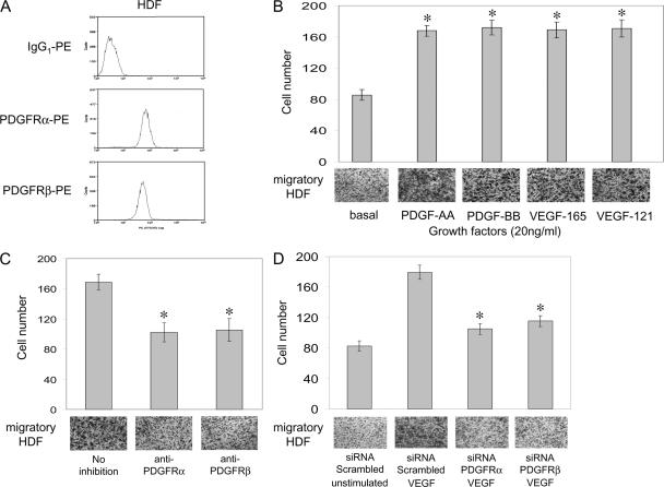 VEGF-A–induced HDF migration was PDGFRα and PDGFRβ dependent. (A) The expression of cell surface PDGFRs on HDFs were determined by single-color flow cytometry. Analysis of PDGFRα and PDGFRβ was performed using anti–human PE-conjugated antibodies, using an IgG 1 -PE antibody as a control. (B) The effects of VEGF-A on HDF migration and the involvement of PDGFRs were examined using Boyden chamber migration assays. HDF migration was evaluated in serum-free conditions after 5-h exposure to growth factor; 20 ng/ml VEGF-A 165 , VEGF-A 121 , PDGF-AA, or PDGF-BB in the lower half of a Boyden chamber. Basal represents growth factor–independent migration. (C) HDFs were pretreated with either 10 μg/ml anti-PDGFRα or -PDGFRβ neutralization antibodies, before adding 20 ng/ml VEGF-A 165 to the lower half of a Boyden chamber for 5 h. No inhibition represents control VEGF-A 165 –induced migration. (D) HDFs were transfected with either 3 μg siRNA PDGFRα, siRNA PDGFRβ, or scrambled siRNA used as a control. Transfected HDFs in serum-free conditions were either unstimulated as a control, or exposed to 20 ng/ml VEGF-A 165 in the lower half of a Boyden chamber for 5 h. Images below each bar graph are representative of migratory cells/field (using a 10× objective lens) on the underside of the membrane. Data shown are the mean number of migratory cells ± the SD determined from 10 random fields from each of three independent experiments. *, P