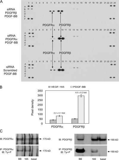 VEGF-A–induced PDGFR tyrosine phosphorylation was comparable to PDGF-BB–induced PDGFRα level. (A) RTK array analysis of lysates from MSCs transfected with 3 μg scrambled siRNA as a control, siRNA PDGFRα or siRNA PDGFRβ, stimulated using 20 ng/ml PDGF-BB in serum-free conditions for 10 min at 37°C. Each array was identically exposed to detection reagents and film. A representative example of two independent experiments is shown. (B) Bar graph comparing VEGF-A 165 – and PDGF-BB–induced PDGFR tyrosine phosphorylation levels. Data represent VEGF-A 165 and PDGF-BB–stimulated controls from RTK array analysis shown in Fig. 5 B and Fig. 6 A , respectively. Mean pixel density ± the SD of duplicate spots, normalized against duplicate phosphotyrosine-positive control spots = 100. (C) Immunoprecipitation (IP) analysis of PDGFR tyrosine phosphorylation levels. MSCs in serum-free conditions were unstimulated with growth factor (basal), or stimulated with either 20 ng/ml VEGF-A 165 or PDGF-BB as a control, for 10 min at 37°C. PDGFRs were isolated from MSC lysates by IP analysis using anti-PDGFRα or anti-PDGFRβ, and then tyrosine phosphorylation detected by immunoblot (IB) analysis using anti-phosphotyrosine (Tyr-P). Membranes were reprobed with corresponding anti-PDGFRα or anti-PDGFRβ as loading controls. A representative of two independent experiments is shown.