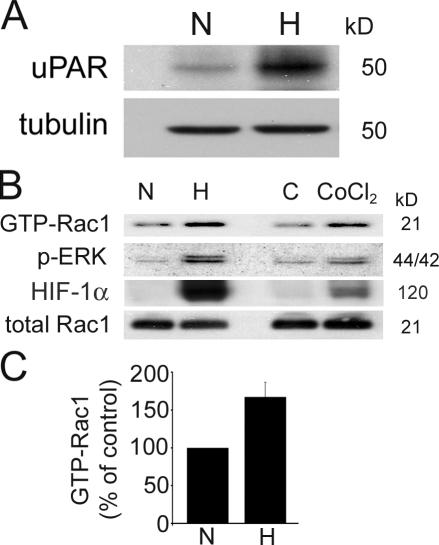Hypoxia increases uPAR levels and activates cell signaling factors known to be downstream of uPAR. (A) MDA-MB-468 cells were cultured for 24 h in 21% O 2 (N) or 1.0% O 2 (H). Cell extracts were subjected to SDS-PAGE and immunoblot analysis to detect human uPAR using antibody 3932 and tubulin. (B) MDA-MB-468 cells were cultured for 15 h in 21% O 2 (N) or 1.0% O 2 (H), treated with 100 μM CoCl 2 or with vehicle (control; C). Cell extracts were affinity precipitated with PAK-1 PBD and subjected to immunoblot analysis to detect GTP-bound Rac1. The original cell extracts were studied by immunoblot analysis to determine total Rac1. Cell extracts were also probed for phosphorylated ERK/MAPK and HIF-1α. (C) The results of three separate experiments were averaged to determine the percentage of increase in activated Rac1 in hypoxia (mean ± SEM; n = 3).