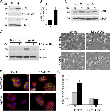 uPAR-dependent activation of the PI3K–Akt pathway is necessary to induce EMT in hypoxia. (A and B) MDA-MB-468 cells were cultured for 15 h in 21% O 2 (N) or 1.0% O 2 (H). (A) Cell extracts were subjected to immunoblot analysis to detect phosphorylated Akt (p-Akt), phosphorylated GSK-3β (p-GSK-3β), Snail, and tubulin. (B) Snail mRNA was determined by qPCR (mean ± SEM; n = 4). (C) MDA-MB-468 cells were treated with 50 μM synthetic peptide (α325) or 50 μM scrambled peptide (scα325) for 15 h in 21% O 2 (N) or 1.0% O 2 (H). Cell extracts were subjected to immunoblot analysis to detect phosphorylated Akt and tubulin. (D) MDA-MB-468 cells were treated with10 μM of the PI3K inhibitor LY294002 or with vehicle for 15 h in 21% O 2 (normoxia) or 1.0% O 2 (hypoxia). Cell extracts were subjected to immunoblot analysis to detect Snail and tubulin (representative of three studies). All lanes are from the same immunoblot (same exposure). (E–G) MDA-MB-468 cells were treated with 10 μM LY294002 or vehicle (control) and cultured for 50 h in 21% O 2 (normoxia; N) or 1.0% O 2 (hypoxia; H). (E) Cell images were captured using phase-contrast microscopy. (F) Cells were immunostained to detect E-cadherin (green). The same cells were stained with phalloidin (red) and DAPI. (G) Snail mRNA was determined by qPCR. Results are compared with the level observed in control cells in normoxia (mean ± SEM; n = 3). Bar, 50 μm.