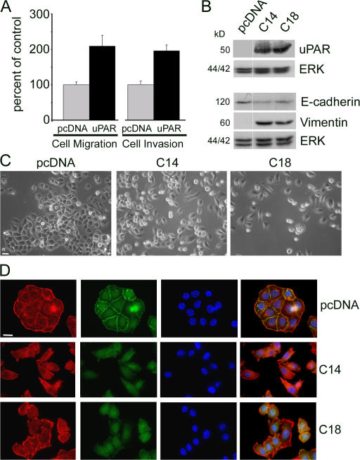 <t>uPAR</t> overexpression is sufficient to induce <t>EMT</t> under normoxia. (A) MDA-MB-468 cells were cotransfected to transiently express GFP and uPAR (uPAR) or empty vector (pcDNA). Cells were allowed to migrate in Transwell chambers (cell migration; n = 9) or invade Matrigel (cell invasion; n = 8) for 24 h. Results are expressed as a percentage of that observed with normoxic GFP-expressing control cells (mean ± SEM). (B) Extracts from cells transfected with empty vector, uPAR-overexpressing C14 cells, and uPAR-overexpressing C18 cells were subjected to immunoblot analysis to detect uPAR and total ERK/MAPK, as a loading control. Equivalent cell extracts were probed to detect E-cadherin, vimentin, and total ERK/MAPK. All lanes are from the same immunoblot (same exposure). (C) pcDNA, C14, and C18 cells were cultured in 21% O 2 . Representative images were captured by phase-contrast microscopy. (D) pcDNA, C14, and C18 cells were immunostained to detect E-cadherin (green channel). The same cells also were stained with phalloidin (red channel) and DAPI. Bars, 50 μm.