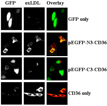 pEGFP-C3-CD36 limited OxLDL uptake, but not for pEGFP-N3-CD36 . pEGFP-C3-CD36 and pEGFP-N3-CD36, as well as pEGFP-N3 alone were transit-transfected into CHO cells. After transfection for 48 hours, cells were rinsed twice with PBS and Dil-oxLDL at 10 μg/ml was incubated with the transfected cells for 1 hour. After rinsed for three times with PBS, cells were mounted on coverlids and observed under confocal microscope. Typical transfected and Dil-oxLDL was photographed. Dil-oxLDL was only weakly bound to pEGFP-C3-CD36 transfected cells.
