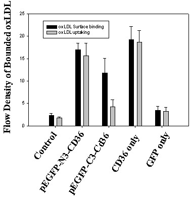 Deficiency of uptake oxLDL by pEGFP-C3-CD36 was partially rescued by surface binding . The transfection was same as described in Fig. 4. After 48 hours of transfection, cells were rinsed with PBS twice and fixed with 4% paraformaldehyde for 30 min, and then incubated with Dil-OxLDL at 10 μg/ml for 2 hours at room temperature. After washed for three times with PBS, cells were collected and assayed with flow cytometry. The results are an average of three experiments. Dark box: oxLDL uptaking and grey box: oxLDL surface binding.