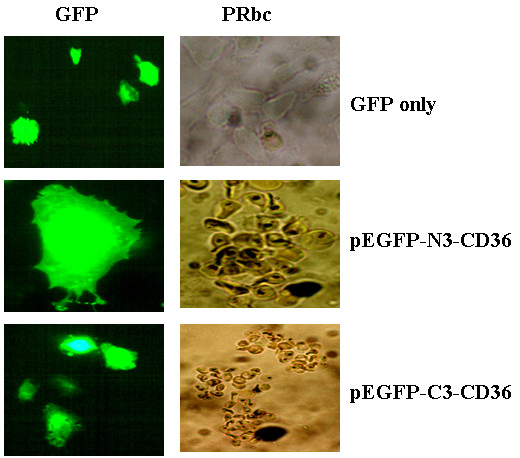Both N- and C-terminal tagged huCD36 bind normally to pRBCs . After transfection with pEGFP-C3-CD36, pEGFP-N3-CD36 or pEGFP-N3 alone, cells were fixed with 4% paraformaldehyde for 20 min and then rinsed twice with PBS. The cells were then incubated with pRBCs for 4 hours at room temperature with gent shacking. pRBCs bindings were observed under fluorescent microscope and typical binding cells were photographed. pRBCs were bound to both pEGFP-C3-CD36 and pEGFP-N3-CD36 transfected cells.