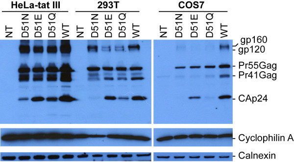 Western blot analysis of cell-type dependent expression of HIV-1 proteins . HeLa-tat III, 293T and COS7 cells were transfected as described above with mutant and wild type proviral DNA constructs. Forty-eight hrs post-transfection, cells were washed and harvested in 1× RIPA buffer. Denatured cell lysates were then resolved by SDS-PAGE, transferred to a nitrocellulose membrane and immunoblotted with a pool of two HIV-1 positive sera (A), rabbit anti-cyclophilin A (B), and anti-calnexin (C) antibodies. Positions of specific viral and cellular proteins are indicated on the right.