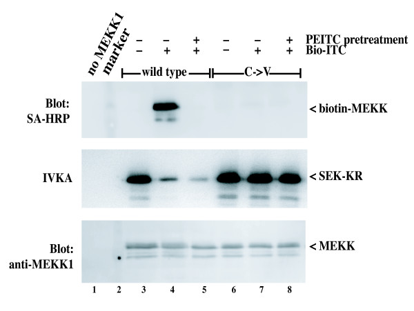 Covalent modification of MEKK1 by Bio-ITC is blocked by preincubation of cells with PEITC . CV-1 cells expressing wild type MEKK1 or the C1238V mutant were either left untreated or incubated with 250 μM PEITC for 20 minutes at 37°C. Lysates were prepared in TLB, clarified and then 500 μM Bio-ITC was added to the samples as indicated. MEKK1 proteins were purified from the lysates on chitin beads, and either electrophoresed for detection of biotin labeling using streptavidin-HRP (top panel) or assayed for kinase activity (middle panel). To confirm equivalent protein, the SA-HRP blot was re-probed with anti-MEKK1 as in Figure 5. Lane 2 contains the molecular weight markers. Bio-ITC covalently modifies MEKK1 protein and inhibits its activity in a manner that requires C1238V. The modification by Bio-ITC is completely inhibited by preincubation of the cells with PEITC, suggesting that the modification site is completely occupied by the natural isothiocyanate after exposure of intact cells.