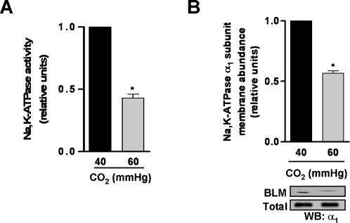 Na,K-ATPase function is impaired in rat lungs exposed to hypercapnic acidosis. (A) Basolateral membranes (BLM) were purified from the peripheral lung tissue of rat lungs exposed to 40 mmHg CO 2 (pH e : 7.4) or 60 mmHg CO 2 (pH e : 7.2), and Na,K-ATPase activity was measured as [γ- 32 P]ATP hydrolysis. Graph represents the mean±SEM, (n = 3). (B) BLM and total membranes were purified from the peripheral lung tissue of rat lungs treated as (A), and Na,K-ATPase protein abundance was assessed by Western blot. Graph represents the mean±SEM, (n = 3). Representative blots of Na,K-ATPase α 1 -subunit at the BLM and total membrane protein abundance are shown. pH e : extracellular pH. * p