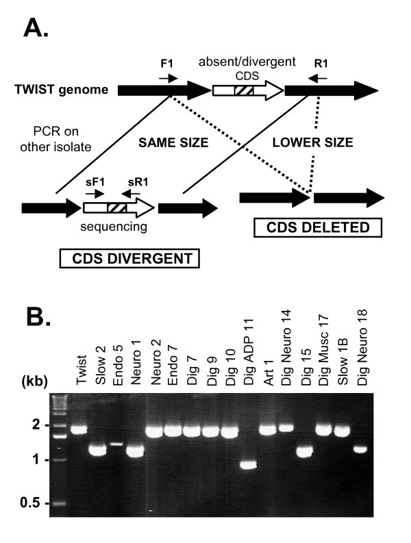 (A) Schematic representation of <t>PCR</t> and sequence-based strategies used to further investigate genomic deletion or divergence . Two couples of primers were designed based on the genome sequence of T. whipplei Twist strain, including one (F1/R1) flanking the gene predicted absent/divergent by CGH analysis, and another (sF1/sR1) flanking the PCR amplicon spotted on the microarray represented by the hatched square. (B) PCR analysis of a putative TWT596 deletion on various T. whipplei strains . The amplicon size obtained using the primers TWT595F1 and TWT597R1 and T. whipplei Twist <t>DNA</t> as positive control was of 2040 nt. Lower size amplicons were obtained with Slow2, Endo5, Neuro1, DigADP11, Dig15 and DigNeuro18, indicating that the gene was deleted in these strains. The first lane corresponds to DNA size standard (1 kb DNA ladder, Invitrogen).