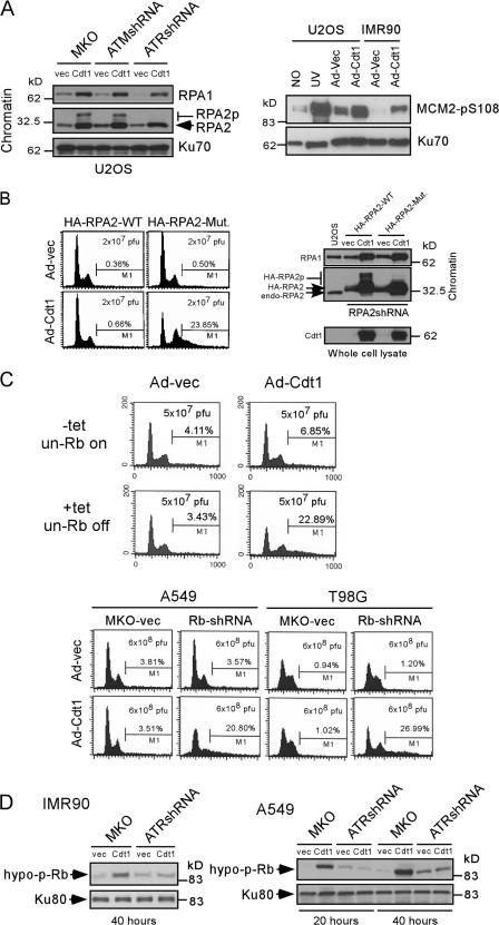 RPA2, MCM2, and Rb are important effector proteins downstream of ATR to inhibit Cdt1-induced rereplication. (A) 48 h after Ad-vec or Ad-Cdt1 infection, chromatin was purified from U2OS cells expressing shRNA-ATR, shRNA-ATM, or vector MKO (left), or cell lysates were prepared from U2OS or IMR90 cells (right). The adenovirus titers U2OS (5 × 10 7 pfu/ml, MOI = 25) and IMR90 (6 × 10 8 pfu/ml, MOI = 600) were used. After 1 h, 50 J/m 2 UV treatment was used as a positive control for MCM2 phosphorylation. Western blot analyses were performed as indicated. RPA2p, phosphorylated RPA2; MCM2-pS108, phosphorylated MCM2 at S108. (B) U2OS cell lines expressing the HA-RPA2 wild type or HA-RPA2-phospho mutant (S4A/S8A/S11A/S12A/S13A/T21A/S33A) with endogenous RPA2 silenced by shRNA were generated as described previously ( Olson et al., 2006 ). FACS analyses were performed 48 h after Ad-vec or Ad-Cdt1 infection (5 × 10 7 pfu/ml, MOI = 25). Western blot analyses were performed as indicated. endo-RPA2, endogenous RPA2; HA-RPA2p, phosphorylated HA-tagged RPA2. (C) U2OS cells carrying tetracycline-regulated constitutively active Rb were infected with Ad-vec or Ad-Cdt1 (5 × 10 7 pfu/ml, MOI = 25) in the presence of tetracycline (+tet, un-Rb off) or 24 h after removal of tetracycline (−tet, un-Rb on). 36 h after infection, cell cycle profiles were monitored by FACS analysis (top). Rb was silenced in A549 and T98G cells by expressing shRNA from retroviral vector MKO. FACS analysis was performed 48 h after Ad-vec or Ad-Cdt1 infection (bottom; A549: 6 × 10 8 pfu/ml, MOI = 400; T98G: 6 × 10 8 pfu/ml, MOI = 460). (D) Cell lysates were prepared from IMR90 or A549 cells expressing ATR-shRNA or vector MKO 20 or 40 h after Ad-vec or Ad-Cdt1 infection (6 × 10 8 pfu/ml; IMR90, MOI = 600; A549, MOI = 400). Rb phosphorylation was analyzed by the antibody G99-549, which specifically recognizes nonphosphorylated S608 species. Ku80 was used as a loading control.