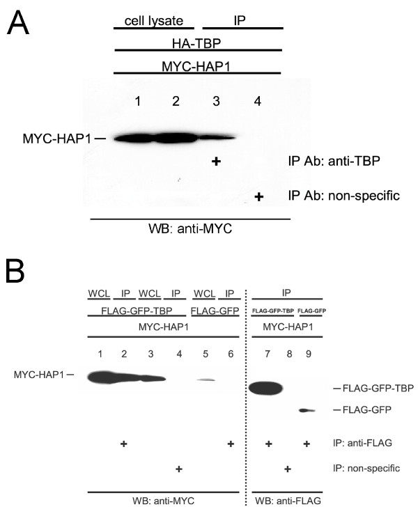 Co-immunoprecipitation assay. TBP/HAP1-B 155–582 interactions in co-transfected cells. (A) 293 cells were co-transfected with pCMV-HA-TBP-FL and pCMV-MYC-HAP1. Whole cell lysates (WCL) (lanes 1–2, where lane 1 and lane 2 represent 4% of each WCL used for immunoprecipitation in lanes 3 and 4, respectively) or immunoprecipitated samples (lanes 3–4) were assayed using western blots with anti-MYC antibody. MYC-tagged HAP1 co-precipitated with TBP in the presence of the anti-TBP antibody (lane 3), but not with the non-specific antibody (lane 4). (B) COS-7 cells were co-transfected with pFLAG-CMV-GFP-TBP-FL (lanes 1–4, 7–8) or pFLAG-CMV-GFP (lanes 5–6, 9) and pCMV-MYC-HAP1-B 155–582 (lanes 1–9). Whole cell lysates (lanes 1, 3, and 5, HAP1) or immunoprecipitated samples (lanes 2, 4, and 6, HAP1) were assayed using western blots and anti-MYC antibody. MYC-tagged HAP1 co-precipitated with FLAG-tagged-GFP-TBP in the presence of the anti-FLAG antibody (lane 2), but not with the non-specific antibody (lane 4). Myc-tagged HAP1 did not co-precipitate with FLAG-tagged-GFP in the presence of anti-FLAG antibody (lane 6). 30% of each immunoprecipitated sample was also blotted with anti-FLAG antibody (lanes 7–9) to verify the amount of FLAG-tagged protein that was captured in each co-precipitation assay (lanes 7–9 represent co-precipitated samples in lanes 2, 4, and 6, respectively).