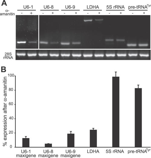 Low α-Amanitin Concentrations Inhibit U6 snRNA Maxigene Expression HeLa cells were transiently transfected with 1 μg U6–1 , U6–8 , and U6–9 maxigenes carrying a 9 bp insertion and treated simultaneously with 50 nM α-amanitin oleate for 20 h or left untreated. Expression of U6 maxigenes, LDHA, 28S rRNA, 5S rRNA and pre-tRNA Tyr was measured by gene-specific reverse transcription, followed by conventional PCR and agarose gel electrophoresis (A) or qPCR (B). qPCR values were normalized to 28S rRNA and expression levels are expressed relative to untreated controls. Error bars represent the SEM. The data represents the average of at least three independent experiments.