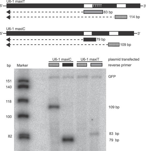 "Pol III Transcribes U6–1 Maxigene Primer extension analysis of RNA from HeLa cells cotransfected with GFP expression plasmid and U6–1 maxigene. (A) Design of the two U6–1 maxigenes with insertions at +66 and +87 bp (white boxes) to allow for maxigene-specific reverse transcription. Construct ""U6–1 maxiT"" harbors five thymidine residues directly downstream of the linker insertion; ""U6–1 MaxiC"" harbors the same primer binding site but lacks the T's. The cross-hatched box represents the reverse primer specific for the downstream insertion, yielding extension products of either 114 bp (U6–1 maxiT) or 109 bp (U6–1 maxiC). Grey filled box and black filled box represent reverse primers specific for upstream insertion with or without T residues, respectively, leading to extension products of 83 bp (U6–1 maxiT) or 79 bp (U6–1 maxiC). Primer extension of mRNA derived from cotransfected GFP plasmid yields a 158 bp product. Primer extension products were separated on a denaturing polyacrylamide gel and exposed on a PhosphorImager. (B) A representative gel is shown."