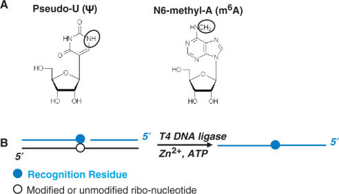 ( A ) Chemical structures of Ψ and m 6 A. ( B ) Scheme for T4 DNA ligase-catalyzed joining of two DNA substrates. In the ternary RNA/DNA complex, the black line corresponds to the 30-mer RNA template with the modified nucleotide (open circle) located at the 15th position. Blue lines correspond to the ligation substrates with the recognition residue shown as a filled blue circle.
