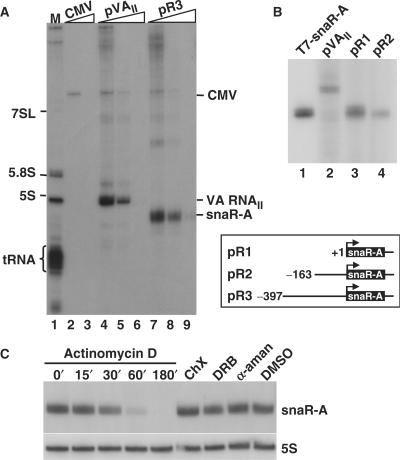 snaR-A is a rapidly synthesized PolIII transcript. ( A ) In vitro transcription of linearized DNA containing the CMV promoter, adenovirus VA RNA II (pVA II ), and snaR-A from pR3 with HeLa cell nuclear extract in the presence of 0, 20 or 200 μg/ml α-amanitin. M: 3′-end labeled cytoplasmic RNA. ( B ) In vitro transcription in HeLa cell nuclear extract of snaR-A from pR1 and pR2, and by T7 RNA polymerase from linearized pT7-snaR-A. A schematic of pR1-R3 constructs (boxed) gives upstream sequence (numbered) with respect to the snaR-A transcriptional start site (bent arrow). ( C ) Northern blot of total RNA from HeLa S3 cells after exposure to 1 μg/ml actinomycin D for 15, 30, 60 or 180 min or to 100 μg/ml cycloheximide (ChX), 10 μg/ml α-amanitin, 10 μM DRB or DMSO for 180 min. Blot was probed with Probe-A (upper) and 5S rRNA antisense oligonucleotide (lower).