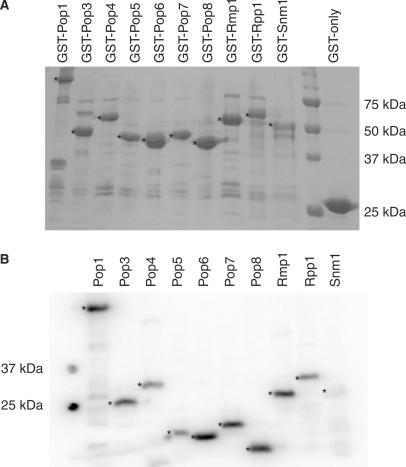 Preparation of RNase MRP protein subunits. ( A ) Expressed GST-fusion proteins bound to glutathione Sepharose 4B beads. The expression and purity of GST-fusion protein preparations were determined by SDS-PAGE analysis and Coomassie staining. The asterisks (*) indicate the full-length GST-(fusion) proteins. The bands seen beneath the full-length GST-(fusion) proteins probably represent truncated versions of the full-length recombinant proteins. The sizes of the molecular weight markers are shown on the right. ( B ) Radiolabelled, cleaved proteins. Whilst bound to glutathione Sepharose, GST fusions were treated with bovine heart kinase in the presence of γ- 32 P-ATP to achieve radiolabelling, followed by removal of the GST-tag by overnight cleavage with PreScission protease. The efficiency of radiolabelling and the purity of the cleaved proteins were assessed by SDS-PAGE analysis followed by exposure to PhosphoImager screens and analysis using a Typhoon scanner. The asterisks (*) indicate the radiolabelled, untagged proteins. The sizes of the molecular weight markers are shown on the left.