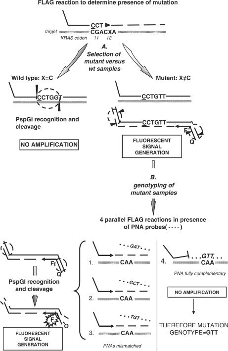 PNA-mediated FLAG –KRAS assay. FLAG-KRAS assay leads to selective amplification of mutant codon 12 KRAS sequences during the real-time fluorescent reaction through a REMS-PCR approach. ( A ) a mutagenic (underlined base) primer introduces a variation that creates the recognition site for PspGI (circle) in the wild-type codon 12 (X = C, ACC) target sequence, thereby suppressing the exponential amplification of the wild-type allele. The mutant alleles escape digestion and this enables their exponential amplification. ( B ) to assess the exact nucleotide alteration of the target amplified, the FLAG-KRAS assay is repeated in four parallel reactions in the presence of PNA probes (dotted lines) specific for the most common mutations of codon 12. When the reaction is conducted in the presence of the fully complementary PNA ( 4 ), no exponential amplification is allowed. In presence of a mismatched PNA ( 1–3 ) the probe is destabilized and the primer can consequently anneal and extend causing an exponential amplification and generation of FLAG fluorescent signal as explained in Figure 1.