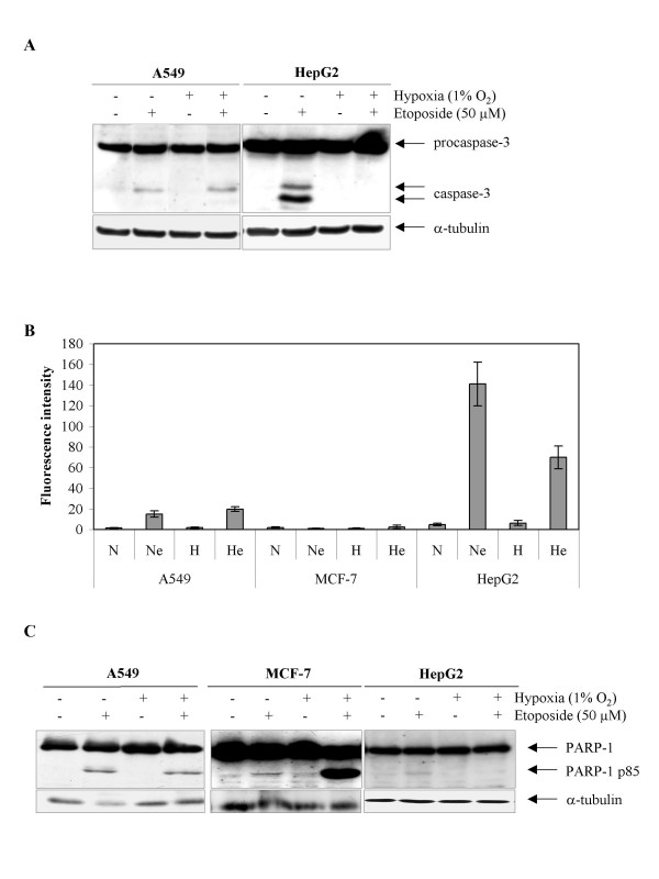 Effect of hypoxia on the etoposide-induced apoptosis. A549, MCF-7 or HepG2 cells were incubated under normoxic (N) or hypoxic (H) conditions with or without etoposide (e, 50 μM) for 16 hours. A , procaspase 3 and the 20 kDa long subunit were detected in total cell extracts by western blotting, using a specific anti-caspase 3 antibody. a-tubulin was used to assess the total amount of proteins loaded on the gel. B , the caspase 3 activity was assayed by measuring free AFC released from the cleavage of the caspase 3 substrate Ac-DEVD-AFC. Results are expressed in fluorescence intensity, as means ± 1 SD (n = 3). C , PARP-1 and cleaved 85 kDa fragment were detected in total cell extracts by western blotting, using a specific anti-PARP-1 antibody. a-tubulin was used to assess the total amount of proteins loaded on the gel.