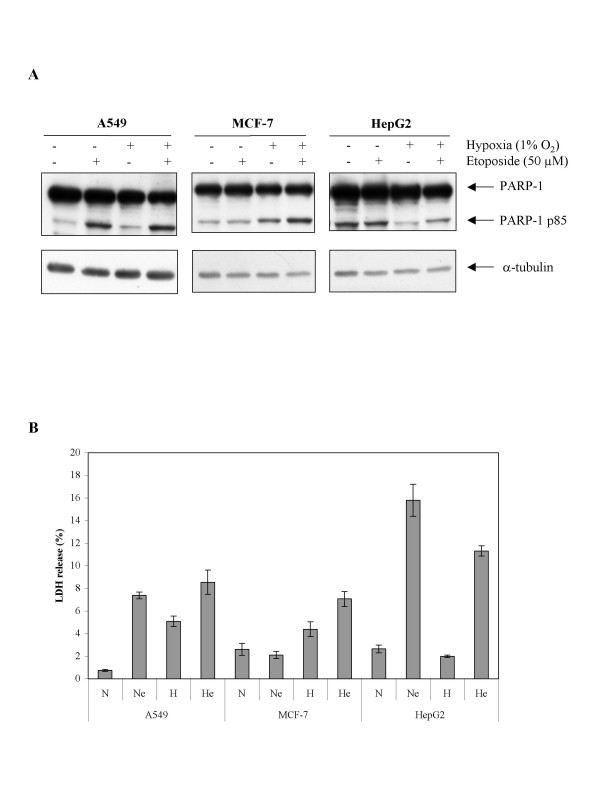Effect of hypoxia on the etoposide-induced apoptosis. A549, MCF-7 or HepG2 cells were incubated under normoxic (N) or hypoxic (H) conditions with or without etoposide (e, 50 μM) for 40 hours. A , PARP-1 and cleaved 85 kDa fragment were detected in total cell extracts by western blotting, using a specific anti-PARP-1 antibody. a-tubulin was used to assess the total amount of proteins loaded on the gel. B , LDH release was assessed. Results are presented in percentages, as means ± 1 SD (n = 3).