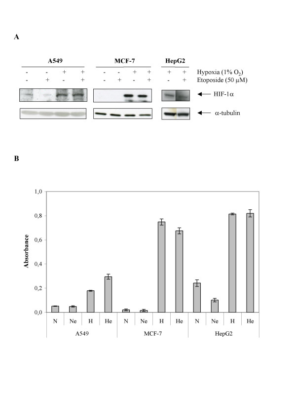 Effect of hypoxia and/or etoposide on the HIF-1α protein level and HIF-1 DNA binding activity. A549, MCF-7 or HepG2 cells were incubated under normoxic (N) or hypoxic (H) conditions with or without etoposide (e, 50 μM) for 16 hours. A , HIF-1α was detected in total cell extracts by western blotting. a-tubulin was used to assess the total amount of proteins loaded on the gel. B , after the incubation, nuclear extracts were performed from three independent experiments and hybridized in the ELISA well containing specific DNA probes (TransAM assay). Detection was performed using an anti-HIF-1α antibody. Results are expressed in absorbance (means ± 1 SD, n = 3).