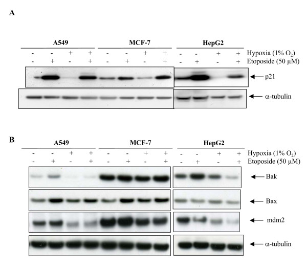 Effect of hypoxia and/or etoposide on p21 (A), Bak, Bax and mdm2 (B) protein levels. A549, MCF-7 or HepG2 cells were incubated under normoxic (N) or hypoxic (H) conditions with or without etoposide (e, 50 μM) for 16 hours. p21, Bak, Bax and mdm2 were detected in total cell extracts by western blotting, using specific antibodies. a-tubulin was used to assess the total amount of proteins loaded on the gel.