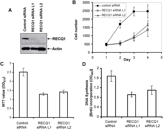 RECQ1-depleted cells show reduced cellular proliferation. Panel A , Small interfering RNA inhibition of RECQ1. Whole cell extracts from HeLa cells that had been transfected with control or RECQ1 siRNA (oligonucleotide L1 or L2) were subjected to Western blotting with RECQ1 or Actin antibodies (as a loading control). Panel B , Proliferation of control or RECQ1 siRNA treated cells as determined by CyQuant assay at indicated time points after transfection. Panel C , MTT assay of in vitro proliferation of control or RECQ1-siRNA transfected cells. Panel D , Colorimetric BrdU cell proliferation ELISA of control or RECQ1 siRNA treated HeLa cells. Results are taken from three independent experiments and proliferation is represented as the mean±standard deviation (SD).