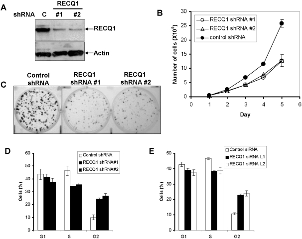 Reduced cell growth and aberrant cell cycle progression of RECQ1-depleted cells. Panel A , Short hairpin RNA (shRNA)-mediated RECQ1 depletion in HeLa cells. Western blot showing RECQ1 expression in puromycin resistant HeLa cells transfected with either control or RECQ1 shRNA (#1 or #2). Actin is used as loading control. Proliferation of control or cells transfected with RECQ1-specific shRNA plasmids was determined by Coulter counting the total number of cells at indicated time points ( Panel B ) and by colony forming assay ( Panel C ). Panels D and E , RECQ1 depletion induces G2/M accumulation. Flow cytometry was used to determine cell cycle distribution of control or RECQ1 shRNA transfected cells ( Panel D ) or RECQ1 siRNA transfected cells ( Panel E ).