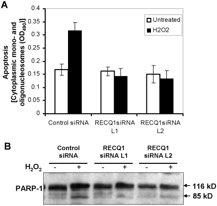 Effect of RECQ1 depletion on spontaneous or oxidative stress induced apoptosis. HeLa cells were siRNA treated for 48 h, and then incubated in complete medium for 24 h. Cells were either untreated or incubated with 400 µM H 2 O 2 for 3 h in serum free medium, washed, and allowed to recover in complete medium for 21 h. Panel A, Enrichment of the cytoplasmic histone-associated-DNA fragments that are indicative of an ongoing apoptosis in cells with the indicated siRNA oligonucleotides. Samples were analyzed in duplicates, and data points represent the mean of three independent experiments; bars denote SD. Panel B, immunoblotting analysis of the PARP cleavage in control or RECQ1 siRNA treated HeLa cells either untreated or exposed to 400 µM H 2 O 2 .